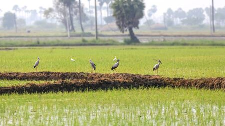 Many Asian open bills in paddy fields in India Banco de Imagens