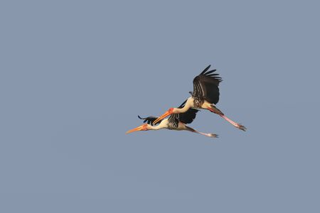Two painted storks in flight against blue sky
