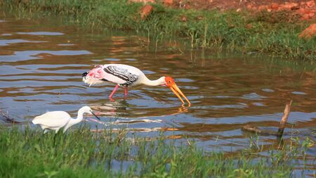 Painted stork bird in the Kolleru lake, India Banco de Imagens