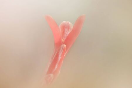 Red ginger plant extreme close up shot