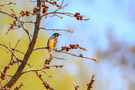 Close up shot of American Robin bird on a tree branch