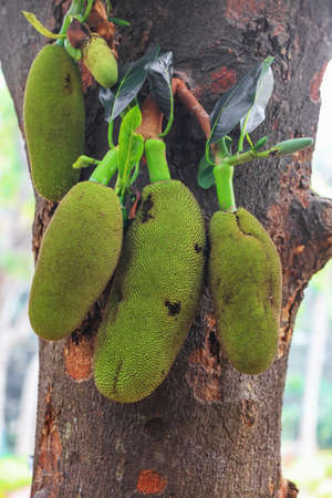 Close up of Jackfruits on the tree in India