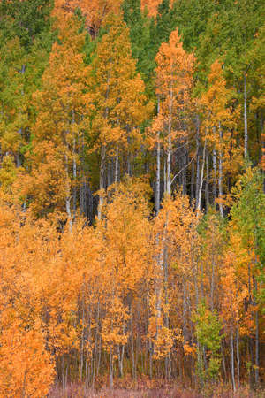 Colorful Aspen trees in autumn time 版權商用圖片 - 155404531