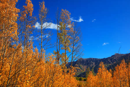 Tall Aspen trees against blue sky in autumn time