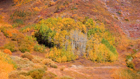 Colorful aspen trees in early autumn time in Colorado rocky mountains