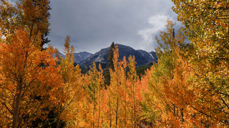 Colorful Aspen trees in Colorado rocky mountains