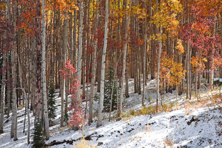 Colorful Aspen trees with winter mix in late autumn time