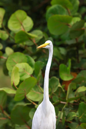 Snow white Egret in the wild
