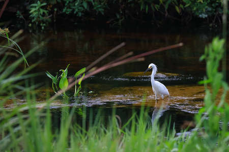 Adult Snowy  egret in the pond