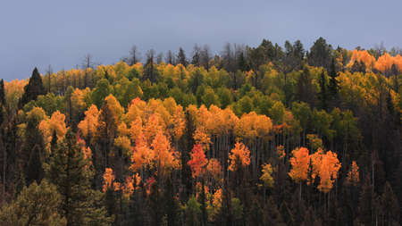 Bright colorful Aspen trees on a hill in rural Colorado with dark overcast sky 版權商用圖片 - 155407704