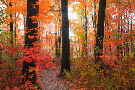 Colorful autumn trees in a forest in rural Michigan