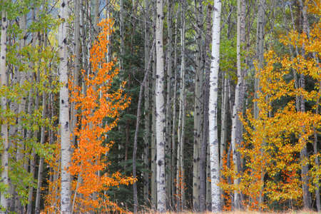 Colorful birch trees in autumn time