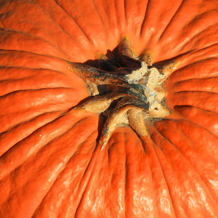 Close up shot of Fresh pumpkin from the farm