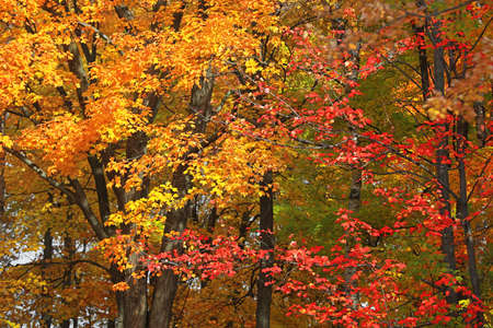 Colorful Maple leaves in Canada wood lands