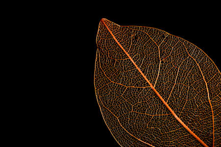 Close up shot of dry orange leaf against black background 版權商用圖片