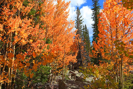 Bright Aspen trees in coniferous forest