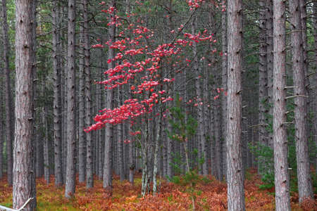 Single red Maple tree in the middle of Coniferous forest in Michigan upper peninsula 版權商用圖片
