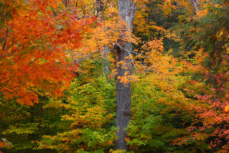 Tall Maple tree surrounded with fall foliage