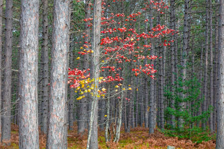 Red and yellow Maple tree in Coniferous forest with blowing wind in Michigan upper peninsula.