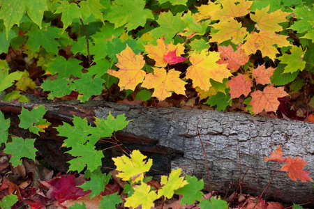 Close up shot of colorful Maple leaves around the dead log 版權商用圖片