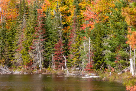 Dead trees in front of colorful autumn trees by Council lake in Michigan upper peninsula 版權商用圖片