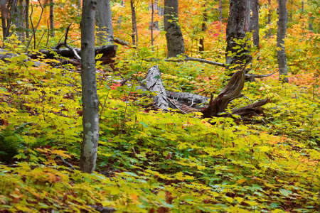Dead trees in the middle of lush Maple plants in autumn time