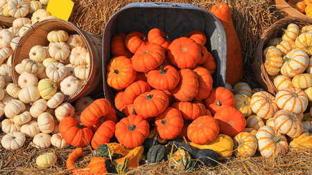 Many fresh pumpkins in the farm up for sale