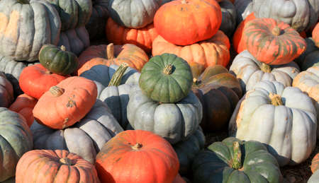 Close up shot of pumpkins fresh from farm Standard-Bild
