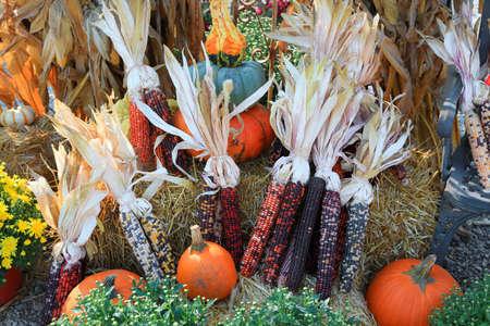 Arrangement of fresh corns pumpkins and gourds showing fresh harvest concept.