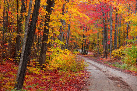 Beautiful maple trees at its peak color along the forest trail Standard-Bild