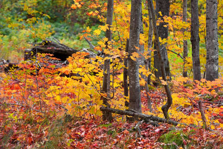 Close up shot of Maple trees in the forest