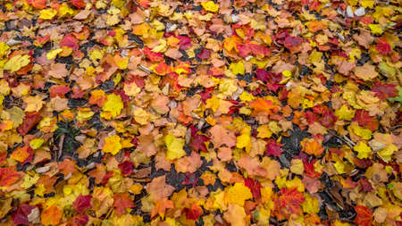 Close up shot of colorful Maple leaves on the ground in autumn time.