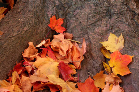Colorful Maple leaves on a trunk of tree