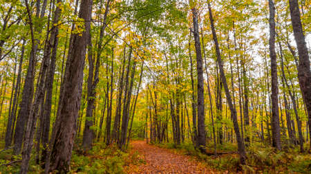 Tall Maple trees along the forest trail Standard-Bild