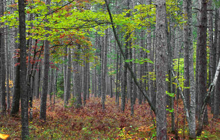 Green maple tree in the middle of Coniferous forest Standard-Bild