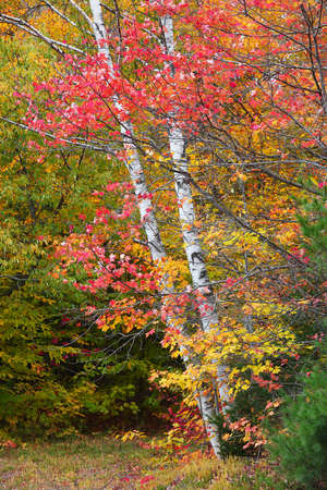 Silver birch tree surrounded with colorful maple leaves