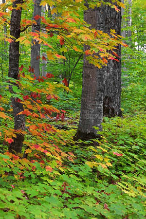 Tall trees surrounded with Maple plants in autumn time.