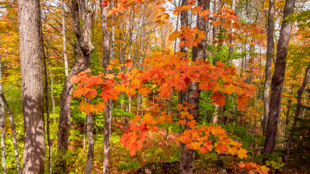 Close up shot of colorful Maple leaves in the forest during autumn time