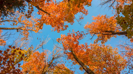 Tall Maple leaves reaching sky Standard-Bild