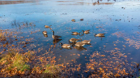 Several Canadian geese in the lake Standard-Bild