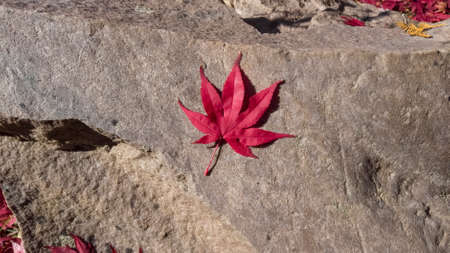 Red Japanese maple leaf on a rock