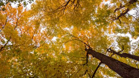 Maple leaves against white sky Standard-Bild