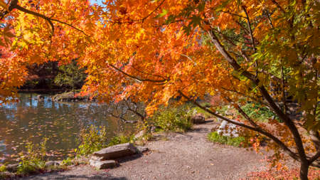 Colorful Japanese Maple tree by the pond Standard-Bild