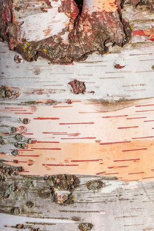 Close up shot of Silver birch stem