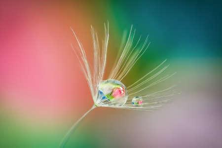 Close up shot of Dandelion holding water droplet