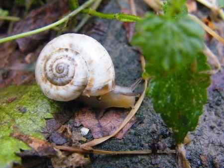 varmint:  Snail Stock Photo