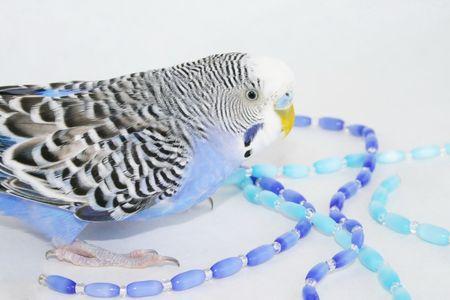 Wavy parrot photo