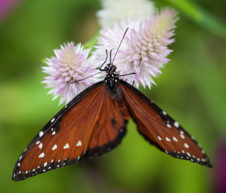 buckeye flower: Beautiful Butterfly Isolated on a green background