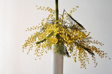 wattle: Mimosa flowers (Australian wattle) in a vase indoor
