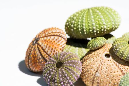 Colored sea urchins shells still life isolated over white